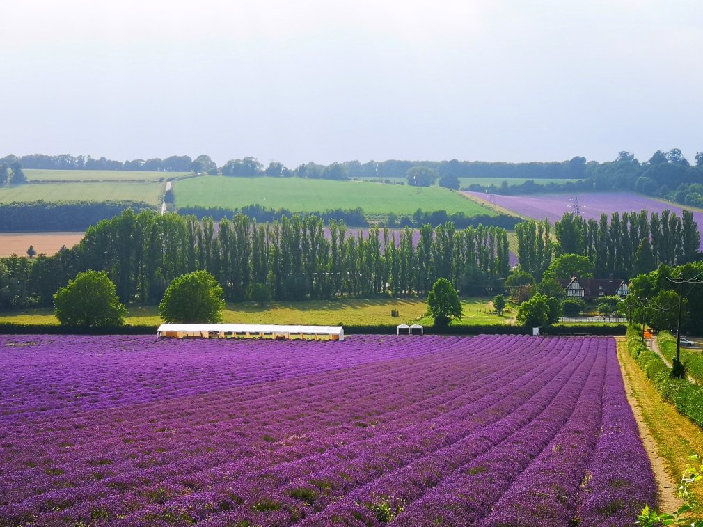Kentish lavender field